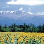 Campo de girasoles en Tupungato