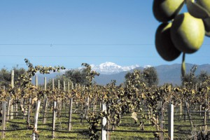 Maipú: Viñedos y olivos