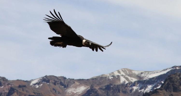 Cóndor en Parque Aconcagua