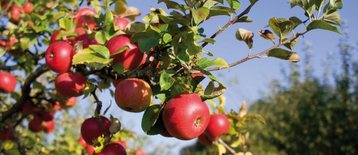 Tunuyán: Plantaciones de manzanas