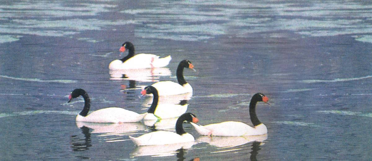 Cisnes cuello negro en las Salinas del Diamante